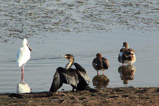 Heron, Bird, Darter Bird, Lake, Safari, Wildlife