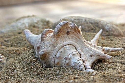 Shell, Sand, Beach, Creature, Aquatic, Mollusk, Sea