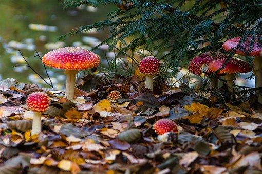 Fly Agaric, Mushrooms, Wild Mushrooms, Sponge, Spore