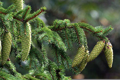Spruce Cones, Spruce, Tree, Branch, Greenery, Foliage