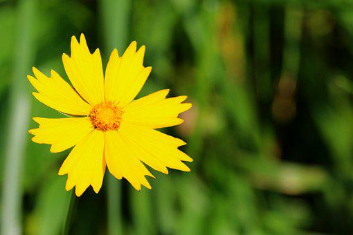 Tickseed, Golden Wave Flower, Flower, Yellow Flower