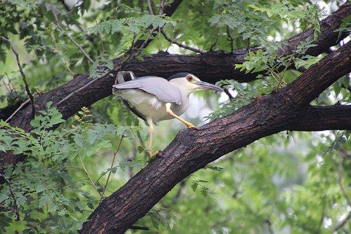 Night Heron, Bird, Animal, Avian, Wildlife, Plumage