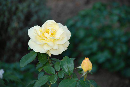 Rose, Yellow Rose, Flower, Yellow Flower, Bloom