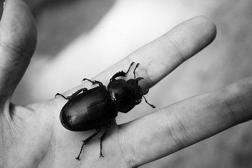 Beetle, Hand, Arthropod, Insect, Bug, Coleoptera