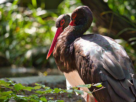 Storks, Birds, Feathers, Plumage, Beack, Avian, Animals