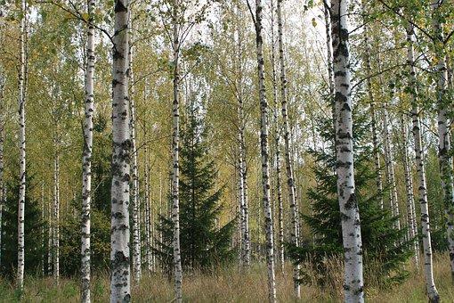 Birch, Trees, Forest, Birch Forest, Undergrowth, Flora