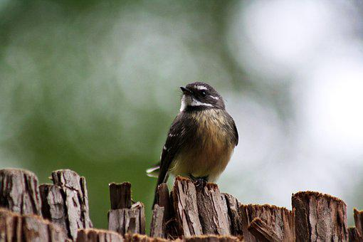 Grey Fantail, Bird, Animal, Small Bird, Avian, Wildlife