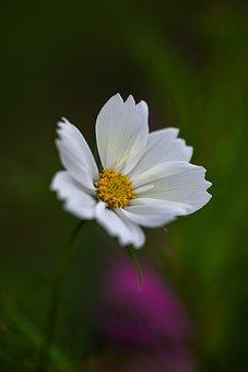 Cosmos, Flower, White Flower, Petals, Bloom, Blossom