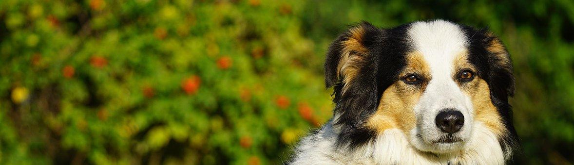 Dog, Pet, Animal, Domestic Dog, Canine, Mammal