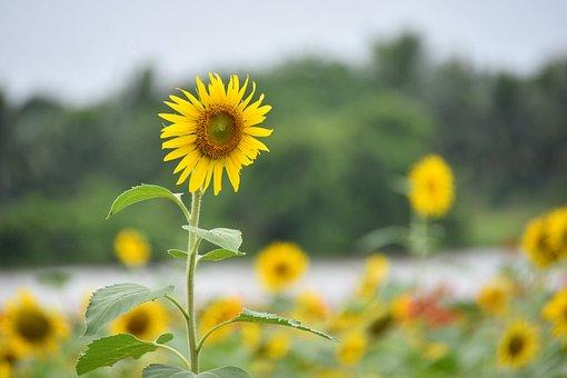 Sunflowers, Flowers, Petals, Leaves, Stem, Foliage