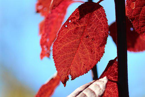 Leaves, Red Leaves, Autumn Leaves, Foliage