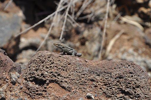 Gecko, Lizard, Reptile, Salamander, Animal, Iguana