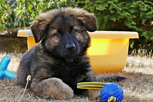German Shepherd, Puppy, Dog, Pet, Pup, Young Dog