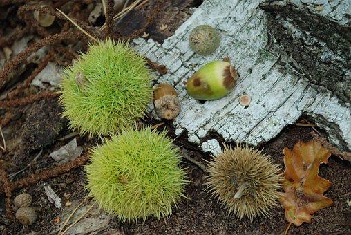 Chestnut, Prickly, Fruit, Autumn, Nature