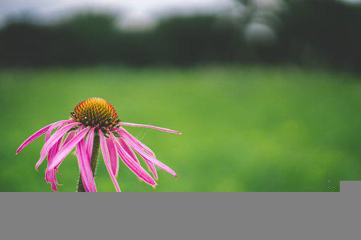 Flower, Coneflower, Pollen, Pink Flower, Pink Petals