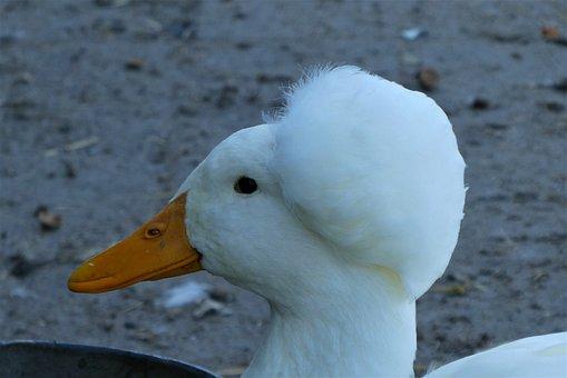 Tufted Duck, Duck, Bird, Poultry, Plumage, Beak