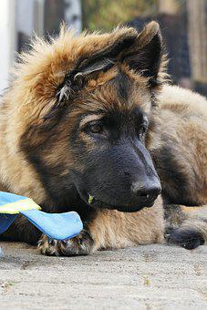German Shepherd, Puppy, Dog, Pet, Animal, Mammal