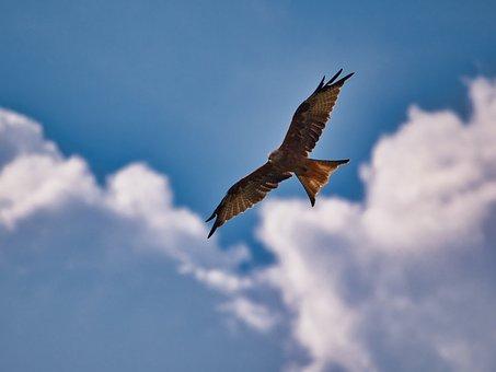 Bird, Red Kite, Wings, Flight, Plumage, Raptor