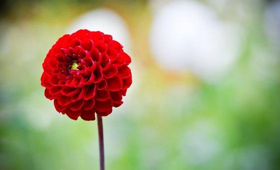 Dahlia, Flower, Bloom, Blossom, Red Flower, Red Dahlia