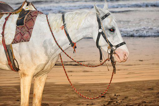 Horse, Saddle Horse, Animal, White Horse, Riding Horse