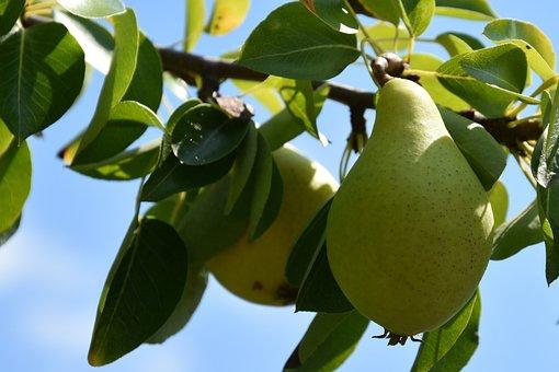 Tree, Pears, Leaves, Foliage, Fruits, Fresh Pears