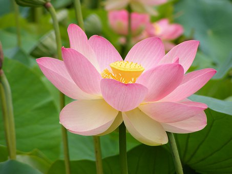 Lotus, Flower, Plant, Petals, Water Lily, Indian Lotus