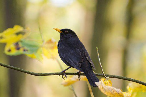 Blackbird, Bird, Animal, Eurasian Blackbird, Avian