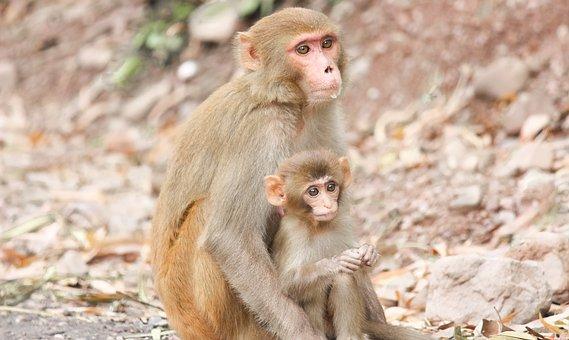 Monkeya, Apes, Primates, Mother, Baby, Animals, Mammals