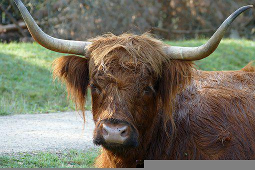 Scottish Highlander, Cow, Beef, Cattle, Mammal, Fauna