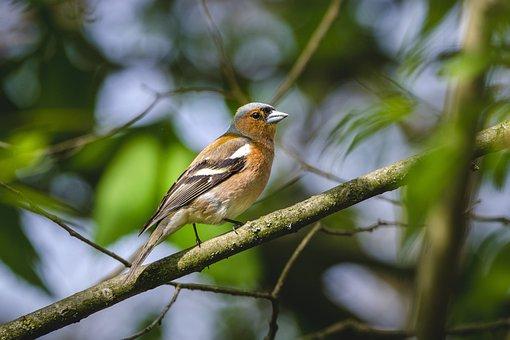 Chaffinch, Bird, Animal, Small Bird, Passerine Bird
