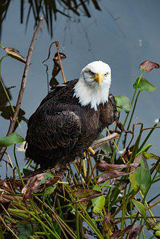 Bird, Bald Eagle, Raptor, Feathers, Beak, Branch