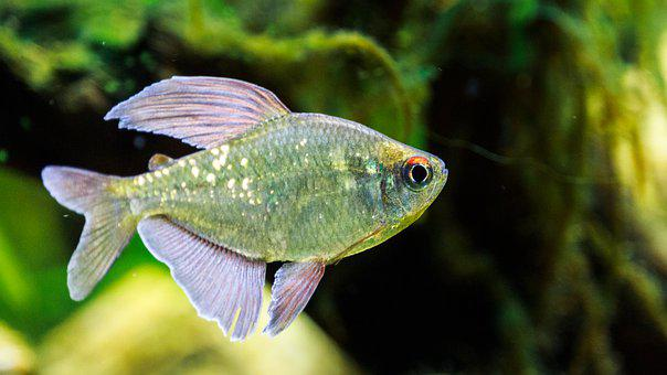 Brilliant Tetra, Ornamental Fish, Aquarium, Fish
