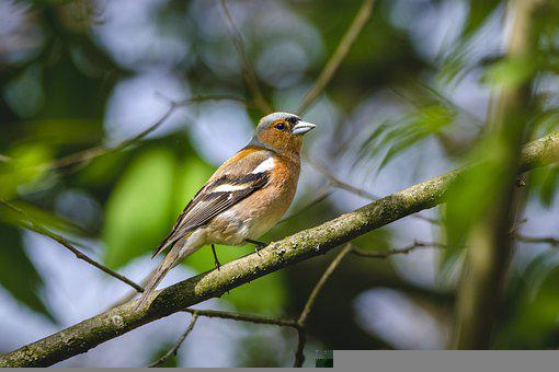Chaffinch, Bird, Animal, Small Bird