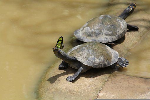 Turtles, Reptiles, Animals, Butterfly, Fauna, Pond
