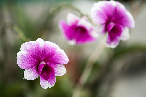 Orchid, Flower, Petals, Bloom, Blossom, Flowering Plant