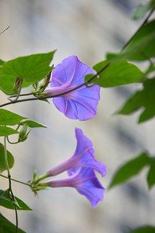 Bindweeds, Flowers, Leaves, Convolvulus, Bloom, Blossom