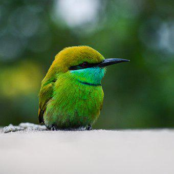 Green Bee-eater, Bird, Animal, Little Green Bee-eater