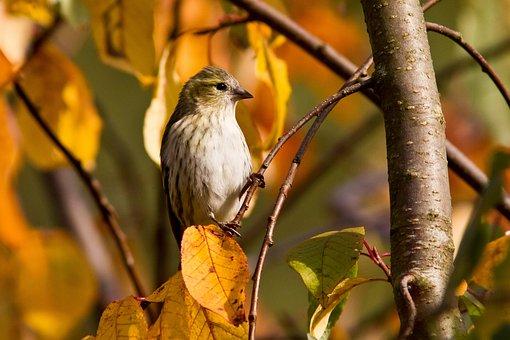 Sparrow, Bird, Animal, Green-backed Sparrow, Small Bird