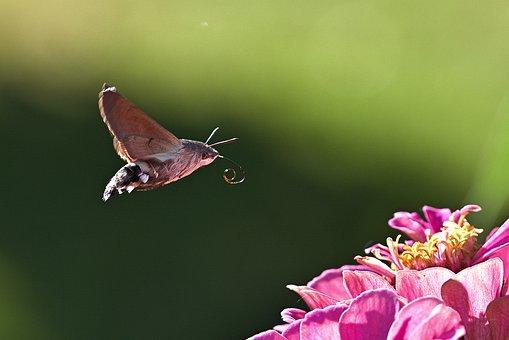 Hummingbird Hawk Moth, Moth, Flower
