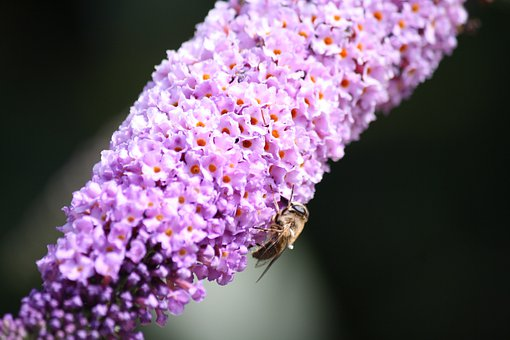 Butterfly Bush, Bee, Pollinate, Pollination
