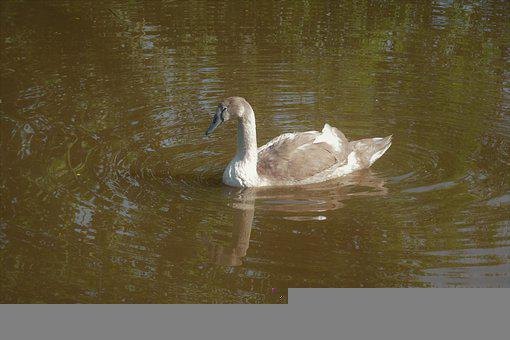 Swan, Bird, Waterfowl, Water Bird, Aquatic Bird, Animal