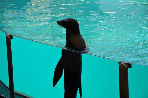 Robbe, Seal, Sea Lion, Pool, Zoo, Mammal, Animal, Swim