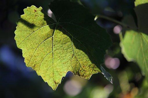 Vine, Plant, Leaf, Vineyard, Grapevine