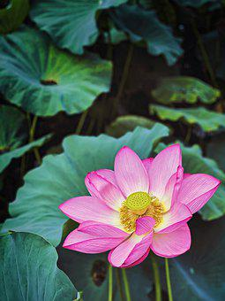Lotus Flower, Water Lilies, Lily Pads, Aquatic Plants