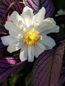 Anemone, White Flower, Purple Leaves, Flower, Blossom