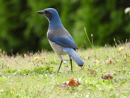 Scrub Jay, Bird, Animal, Woodhouse's Scrub Jay, Avian