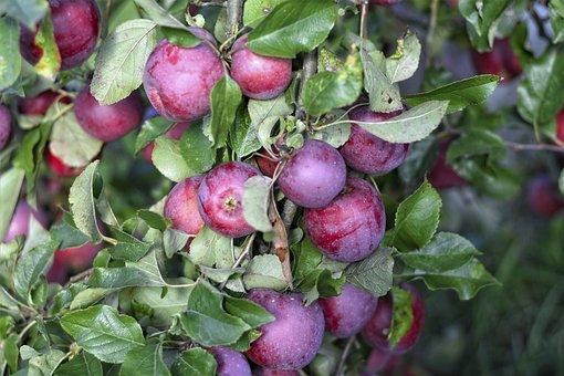 Apples, Fruit, Tree, Red Apples, Ripe, Food, Vitamins