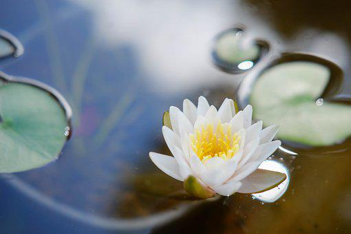 Lotus Flower, Water Lily, Bloom, Aquatic Plants