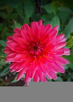 Dahlia, Flower, Plant, Petals, Bloom, Blossom