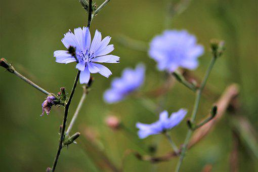 Chicory, Flower, Buds, Blue Flower, Wildflower, Bloom